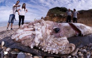 This giant squid called Architeuthis dux and measuring 30 feet long washed ashore in the Spanish community of Cantabria on Oct. 1, 2013.
