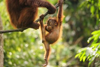 orangutan swinging from a vine