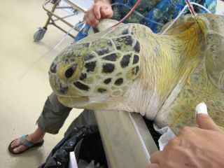 turtle, sea turtle, andre, rehabilitation, release, wildlife rescue, Florida,