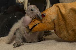 California condor chick
