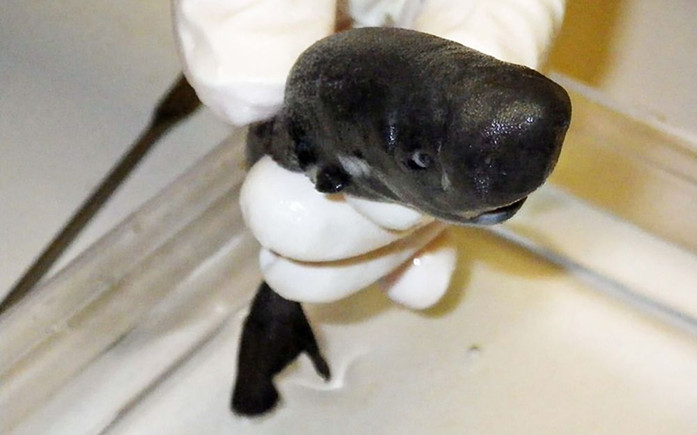 Adorable, Newfound Shark Fits in Your Hand, Looks Like a Mini Sperm Whale