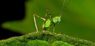 parasites, crickets