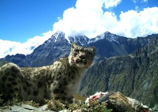 In the central Himalayas of Nepal, snow leopards depend on livestock for about 25 percent of their diet.