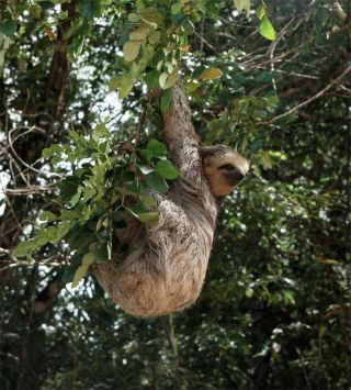 A sloth at the edge of a forest in the Amazon.