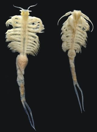 Large Relative Of Sea Monkey Found In Idaho Live Science