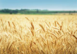 superwheat