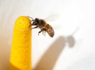 an africanized honeybee, or killer bee,