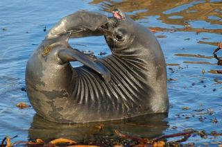 elephant seal, marine biology