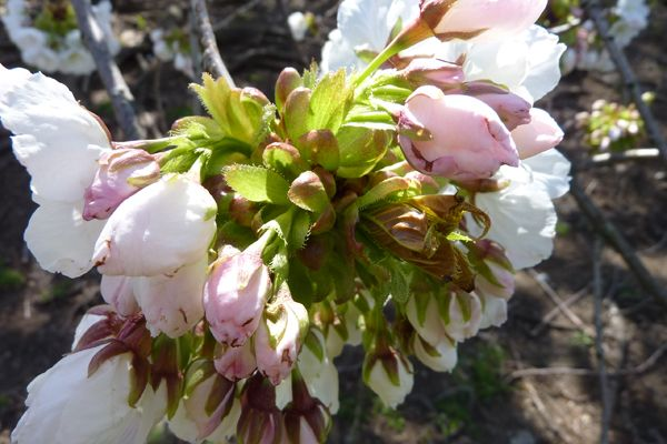 Photos: Stages of Cherry Blossom Blooms | Flower Photos