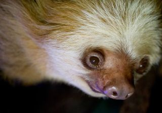 The world's oldest sloth, a Hoffmann's two-toed sloth named Miss C (shown here), died at the age of 43 on June 2, 2017.