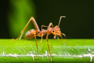 Close up of a red ant on a leaf.