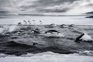 Adelie penguins in Antarctica's Ross Sea