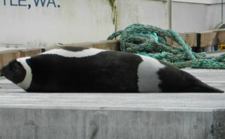 ribbon seal, ribbon seal sighting, ribbon seal seattle, arctic species, seal in seattle, arctic seals, duwamish river seal, arctic wildlife