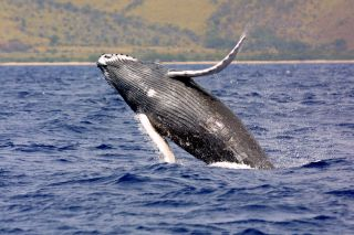 humpback whales in the ocean