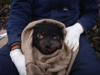 Tasmanian devil with facial tumor disease