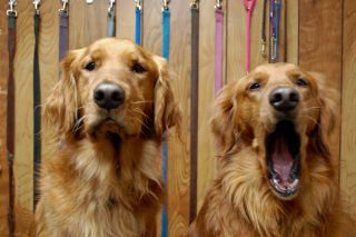 A dog yawns next to a golden retriever looking alert.