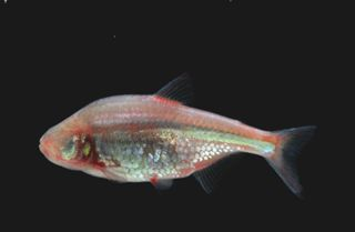 Mexican blind cavefish