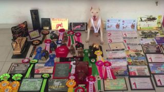 Antara the jumping Pitbull sitting in amongst all the awards she's won with medal round her neck