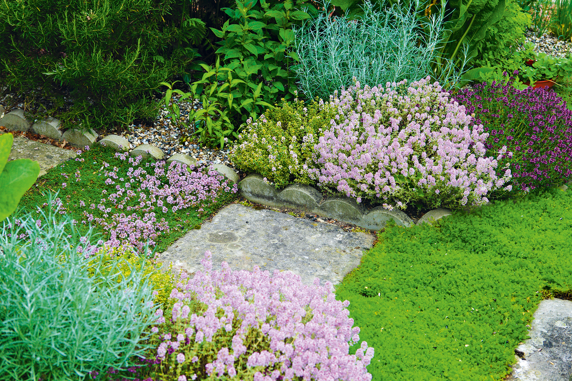 How to grow rosemary - line a path