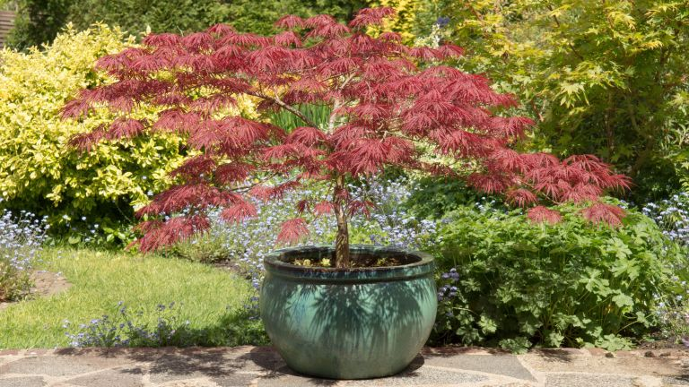 best trees to grow in pots: Acer palmatum dissectum Garnet on a patio