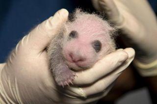 panda-cub-exam-101118-02