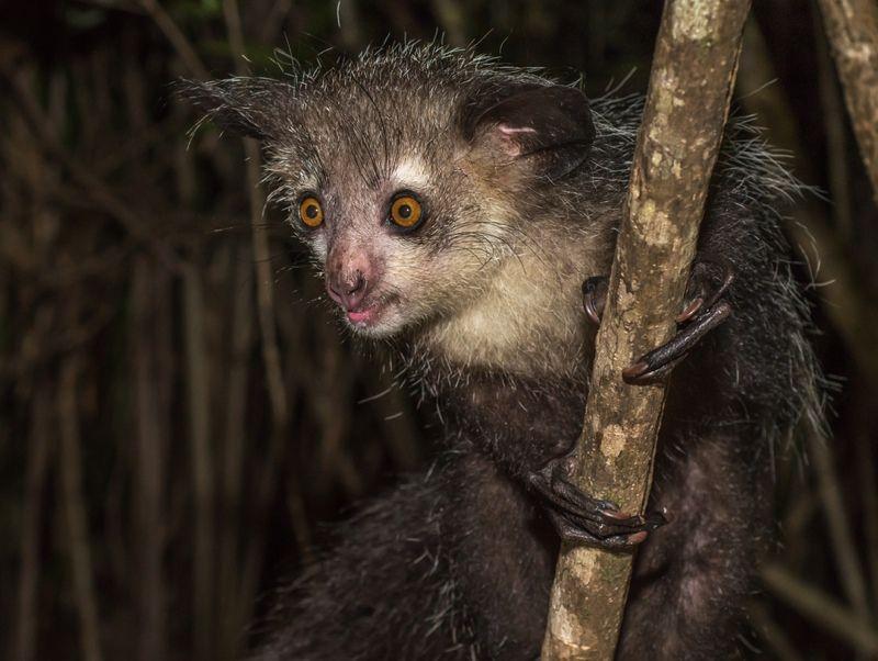 Bizarro aye-aye de Madagascar tem 6 dedos em cada mão, descobrem os cientistas