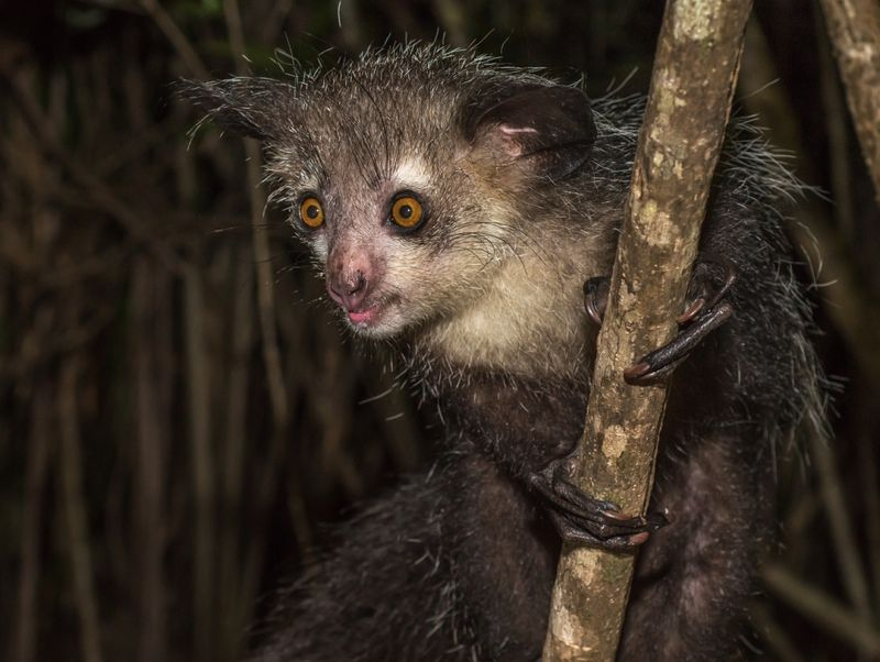 Madagascar's bizarre aye-aye has 6 fingers on each hand, scientists discover - Livescience.com