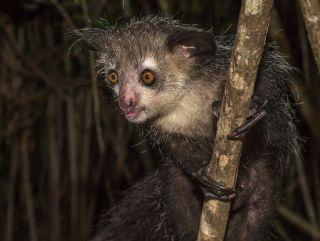 An aye-aye in Madagascar.