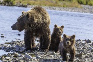 mother grizzly bear with cubs in katmai national park.
