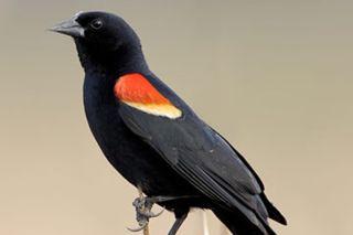 blackbird-110103-02