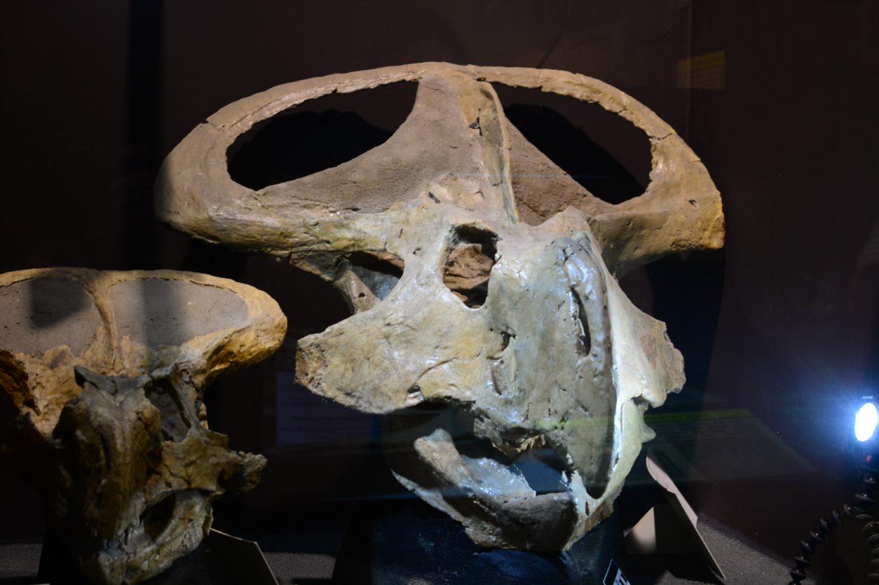 A protoceratops skull with its elaborate frill.