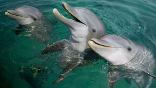 Bottlenose dolphins are very vocal.