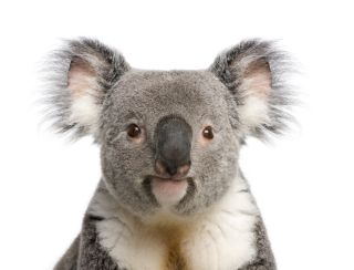 Koalas Facts About Iconic Marsupials Live Science