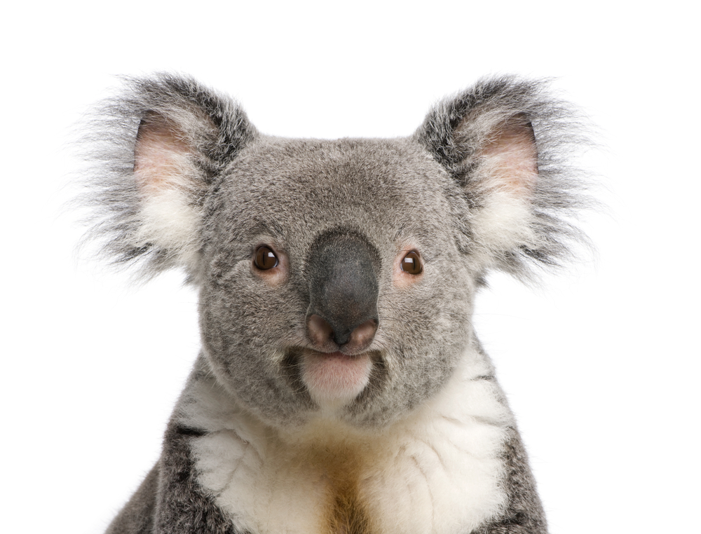 Koalas To Humans We Are Not Bears Live Science