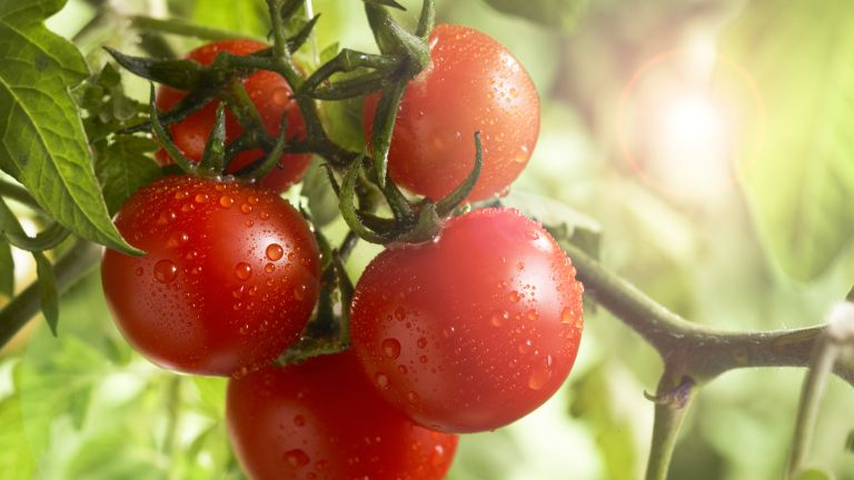 ripe tomatoes growing on the vine