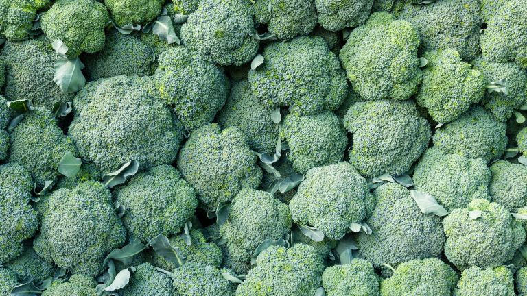 how to grow calabrese: distinctive compact green crowns of calabrese at harvest