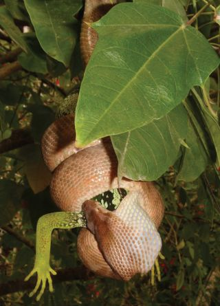 For the first time, the Pacific boa has been documented eating the endangered Fiji banded iguana.