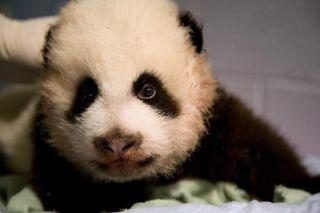 panda-cub-january-exam-110214-02