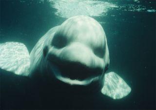 beluga whale named Noc.