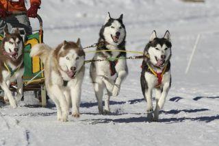 Iditarod, sled race, sled dogs