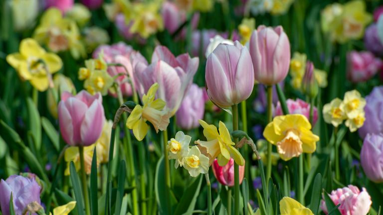 tulips and daffodils in a flowerbed