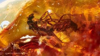 """This rare example of """"frozen behavior"""" in the fossil record preserves two mating, long-legged flies in honey-colored amber from Victoria, Australia."""