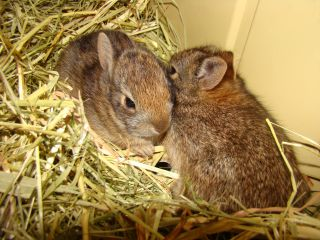 cottontail rabbit kittens