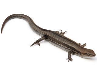 garden skink lizard, a species' behavior may explain why it is or isn't successful as an invasive species