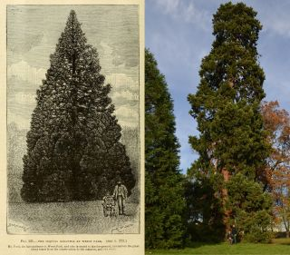 The Wrest Park Christmas tree past and present.
