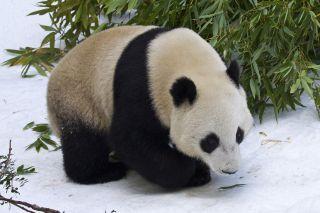 Yun Zi Panda San Diego Zoo snow
