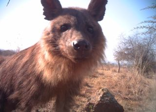 Brown hyena, conservation, camera trap photos