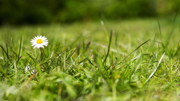 how to get rid of lawn weeds: daisy in lawn