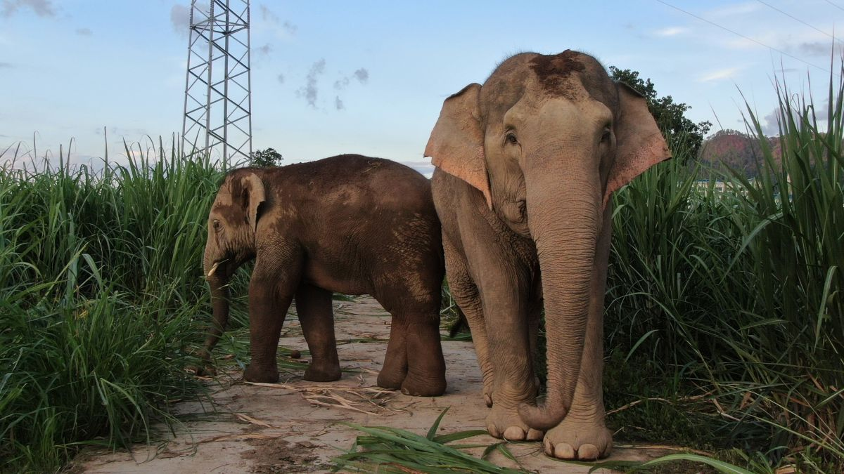 Viral story of drunk elephants in China is adorable ... and false. Heres what really happened.