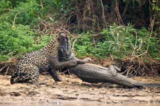 A jaguar ambushes a giant jacare caiman high up on the Three Brothers River in the Pantanal in Mato Grosso, Brazil, on Sept. 26, 2017.